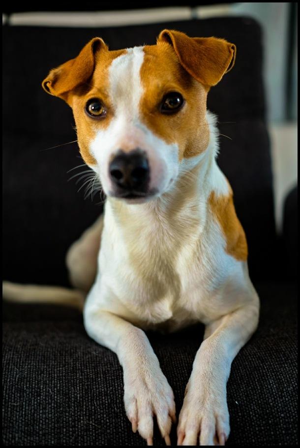 A Danis Swedish farm dog