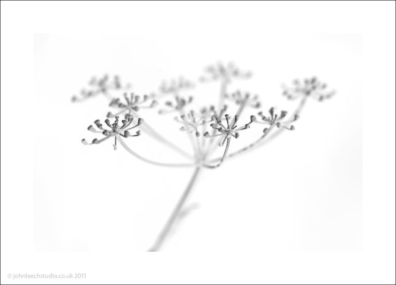 fennel black and white architectural plant