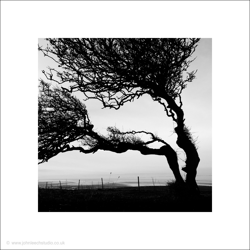 Pair of trees on Humphrey Head, Morecambe Bay