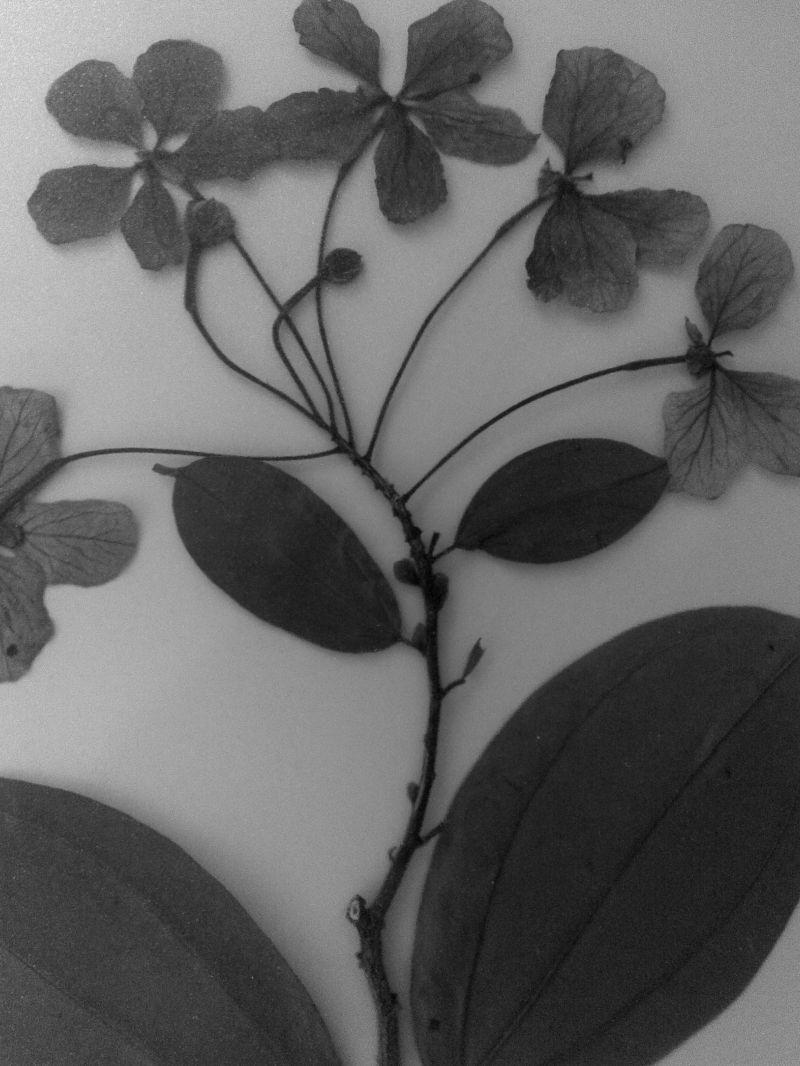 A herbarium specimen
