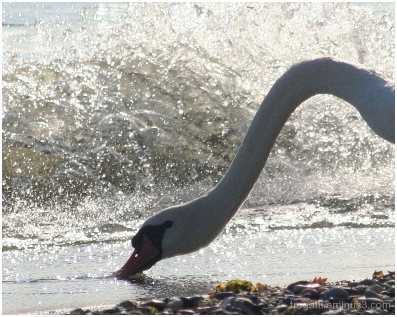 Thirsty swan