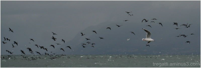 Gulls over the Lac Léman as a storm moves in.