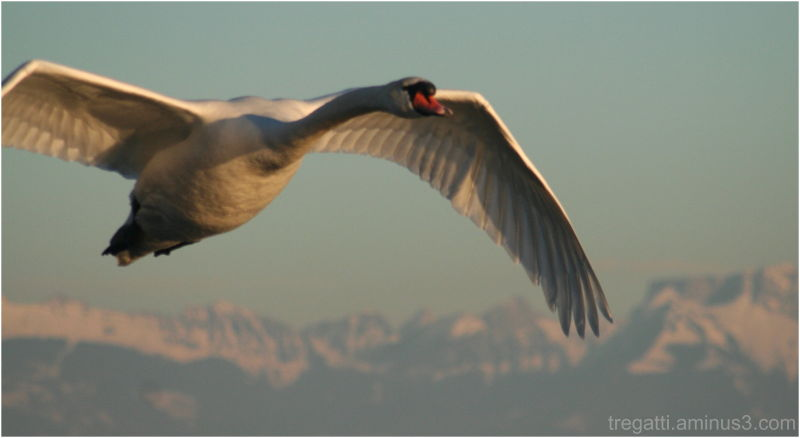 Swan flying in front of the alps