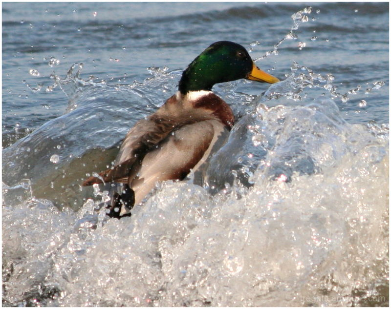 duck waves
