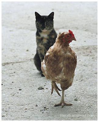 cat chicken
