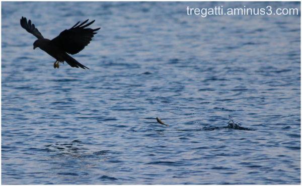 black kite, fish