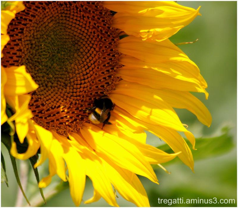 bee, sunflower