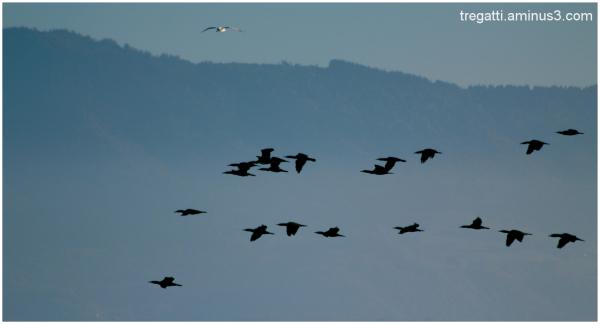 cormorants