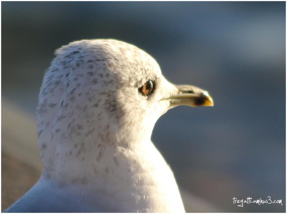gull, eye