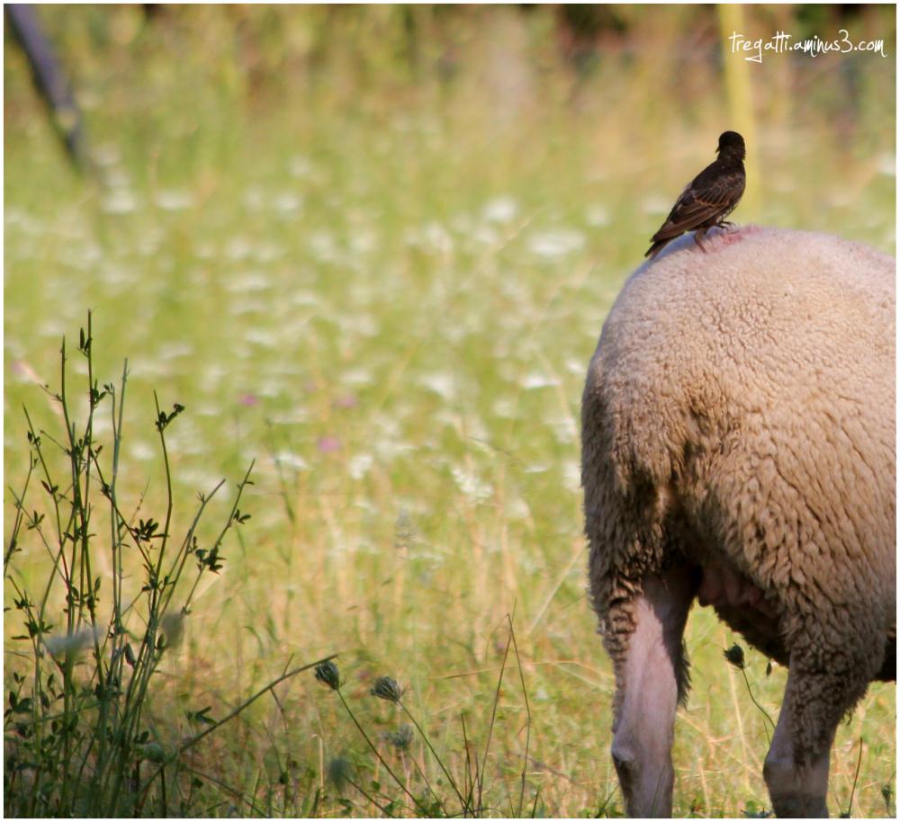 starling, sheep