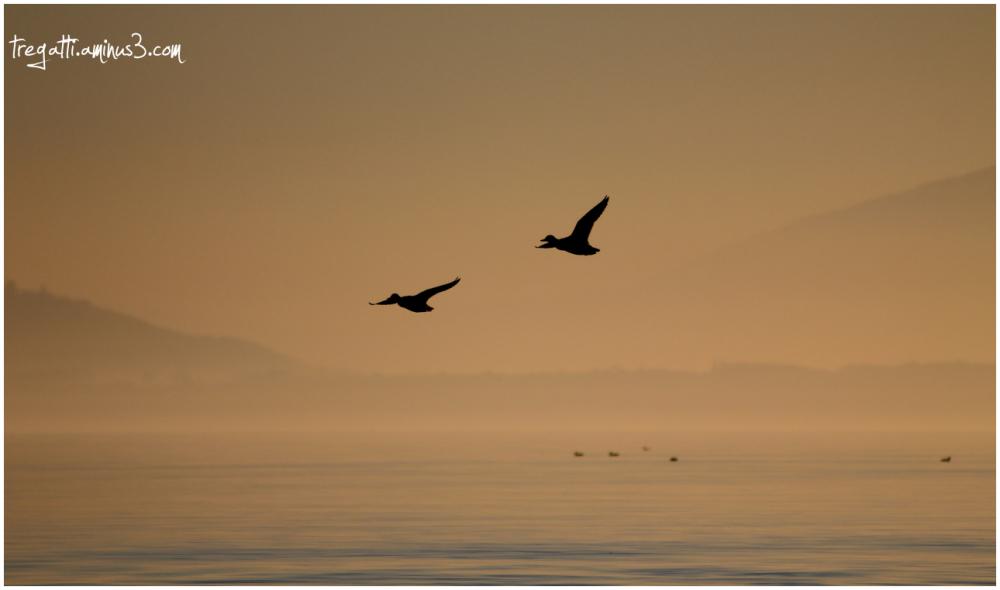 ducks, sunset
