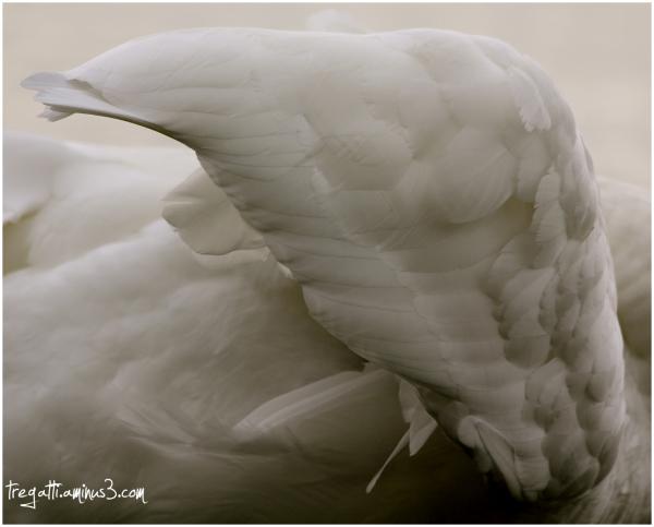swan, wing