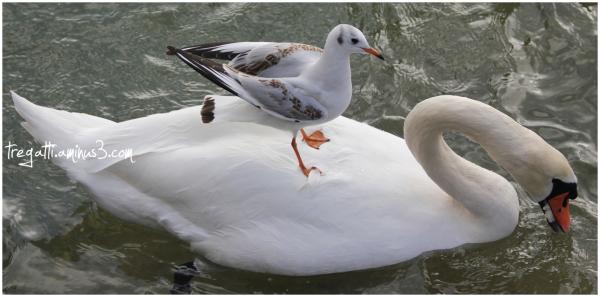 gull, swan