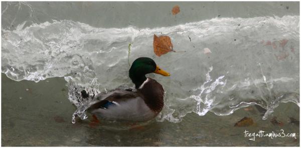 duck, wave