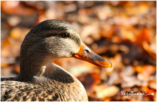 duck, autumn, leaves