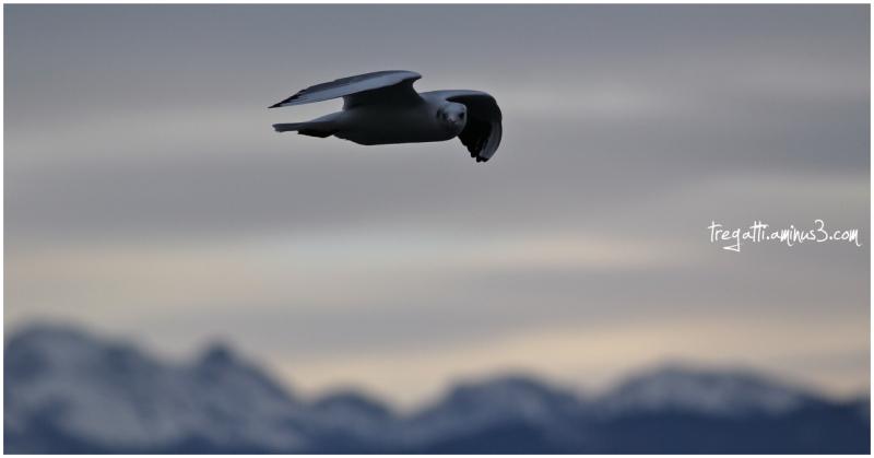 gull, mountains, snow