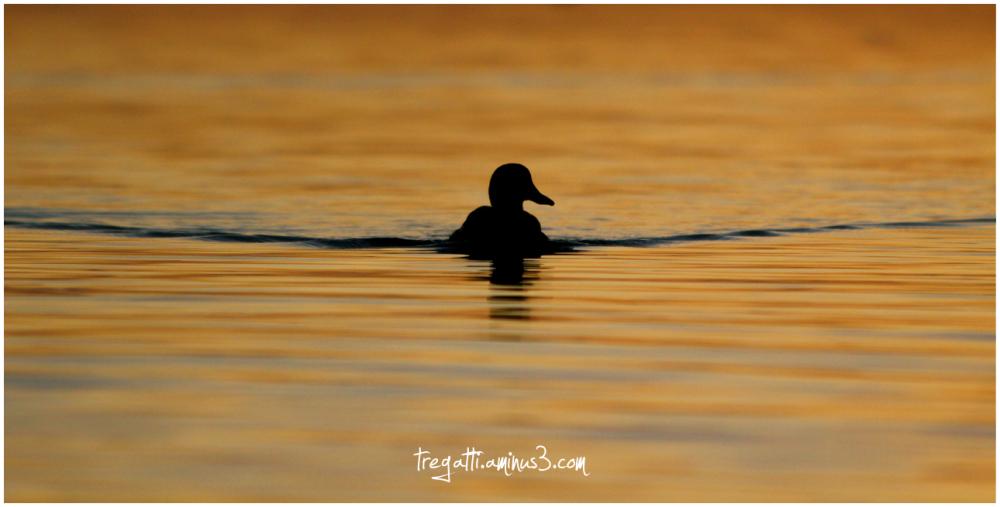 duck, sunset, silhouette