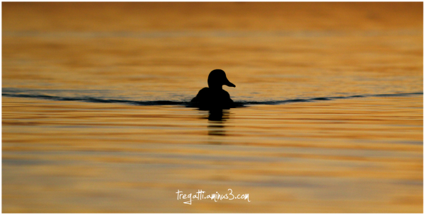 duck, sunset, silhouette