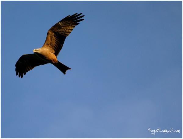 black kite, milan noir