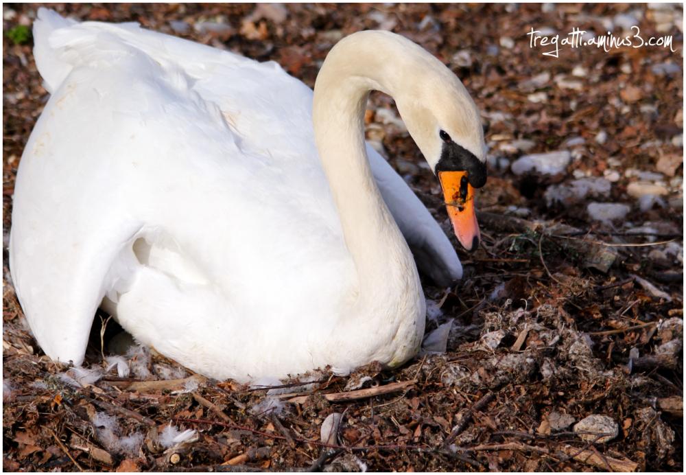 swan, nest