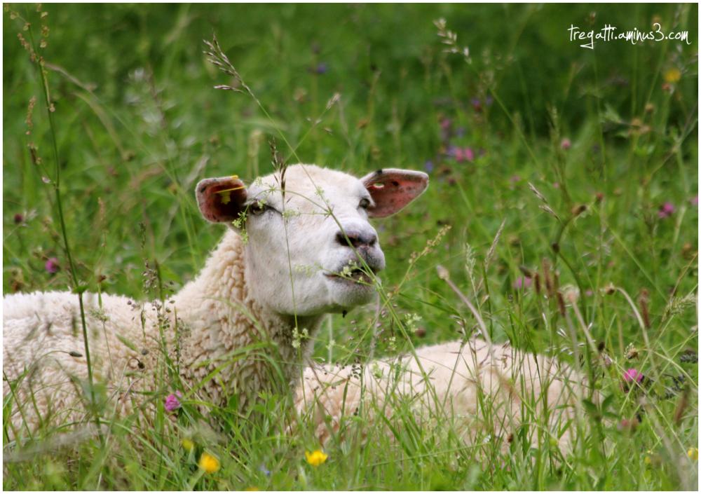 sheep, wildflowers