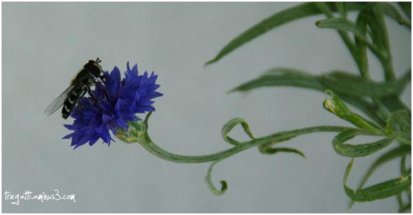 bee, cornflower