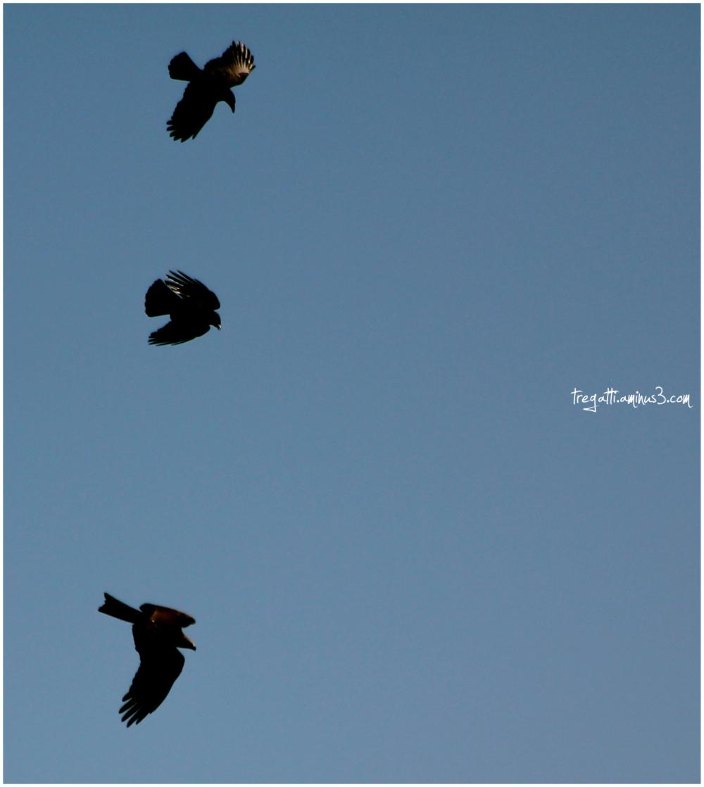 ravens, black kite