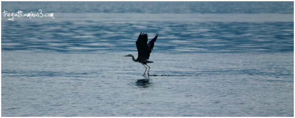 heron, lake