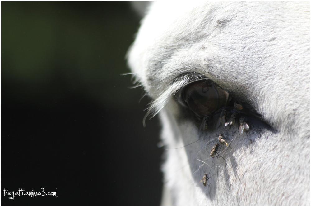 donkey, eye, flies