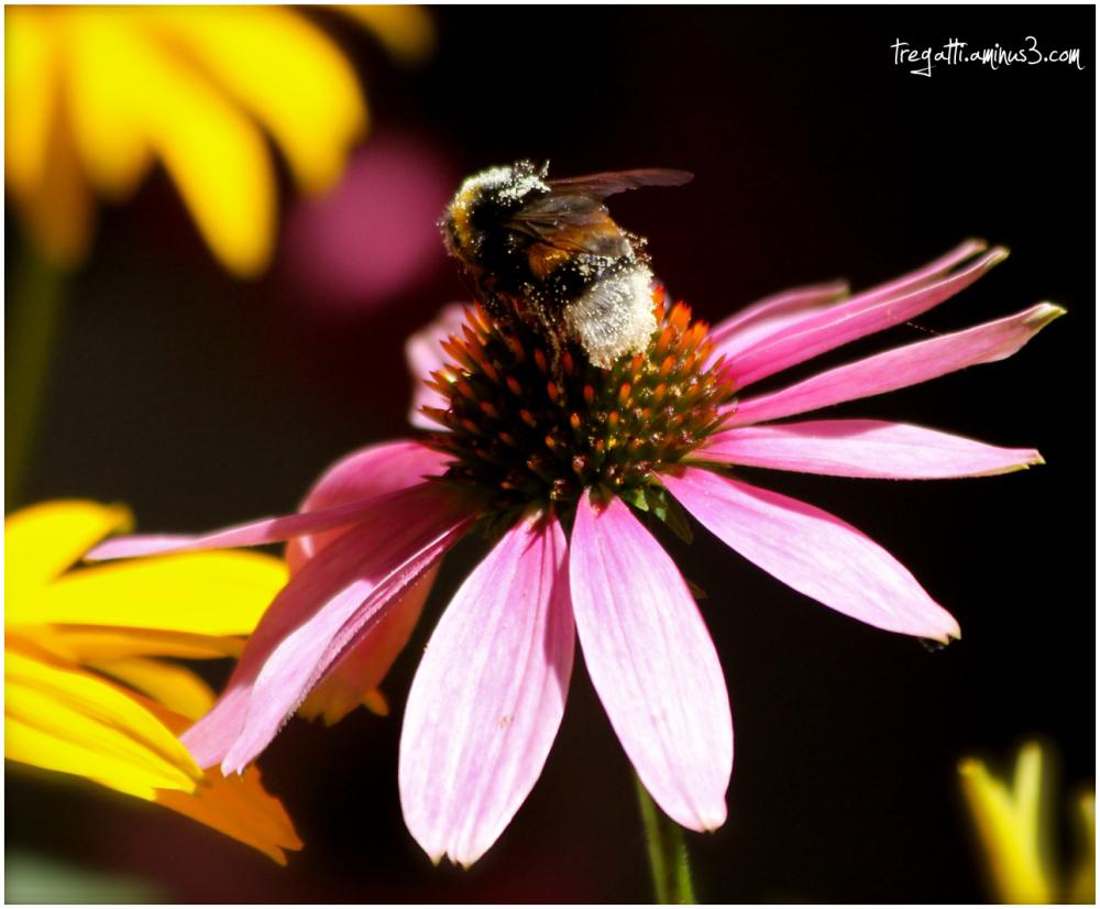 bee, pollen, echinacea