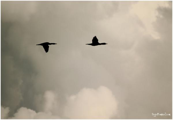 cormorants, clouds