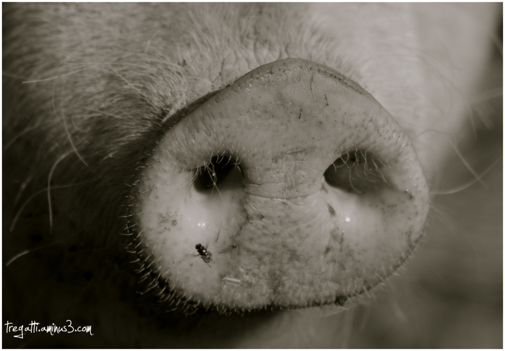 pig, snout, fly