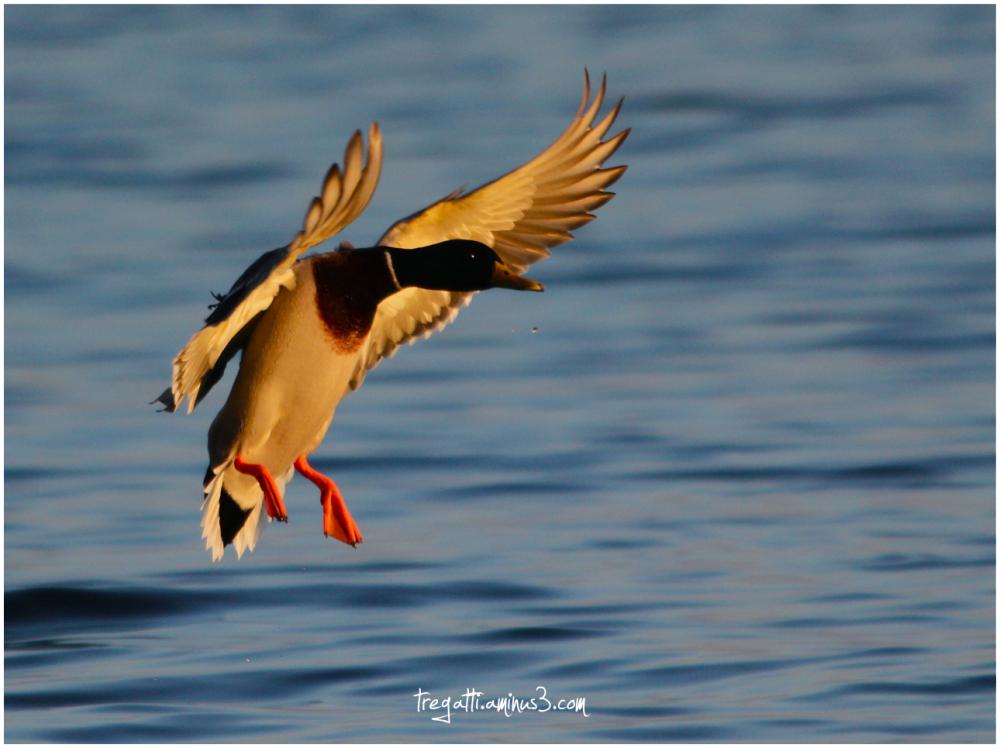 duck, lake