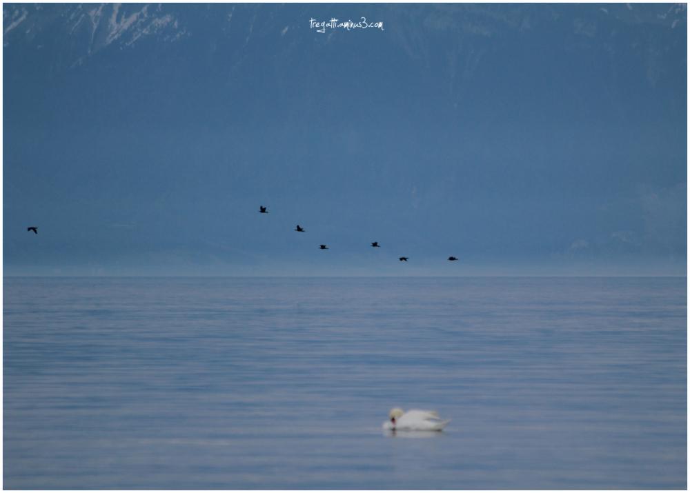 swan, cormorants, lake
