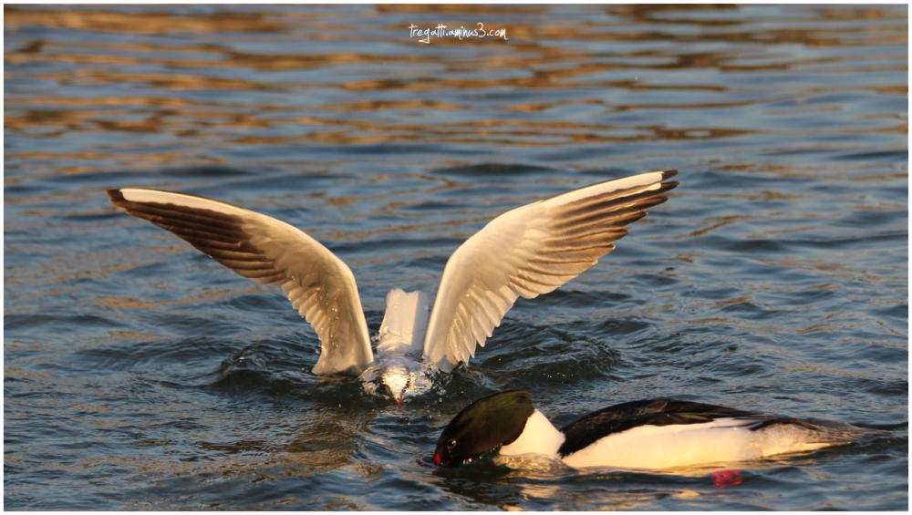 gull, duck