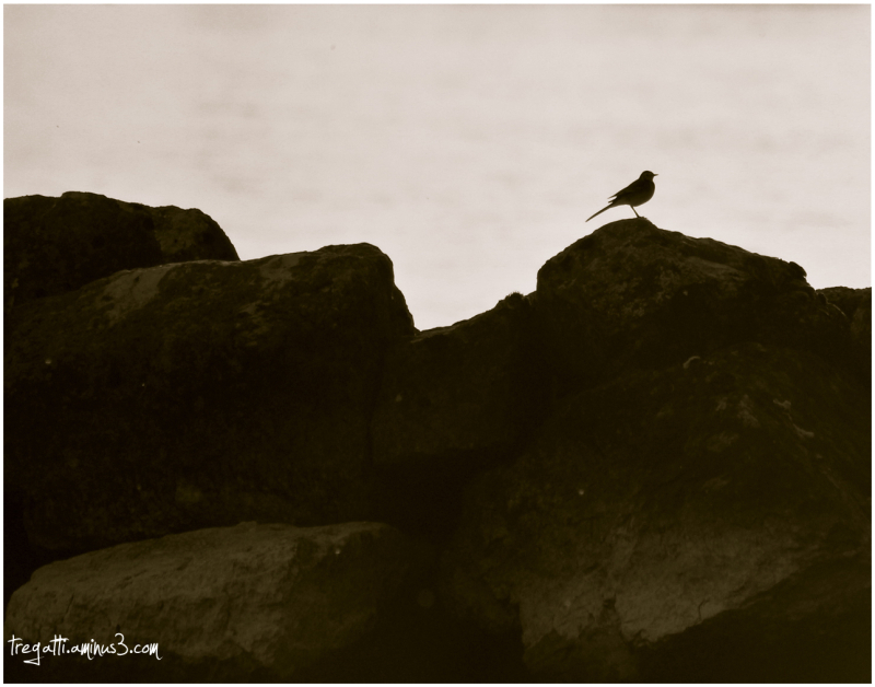 pied wagtail, pensive, rocks
