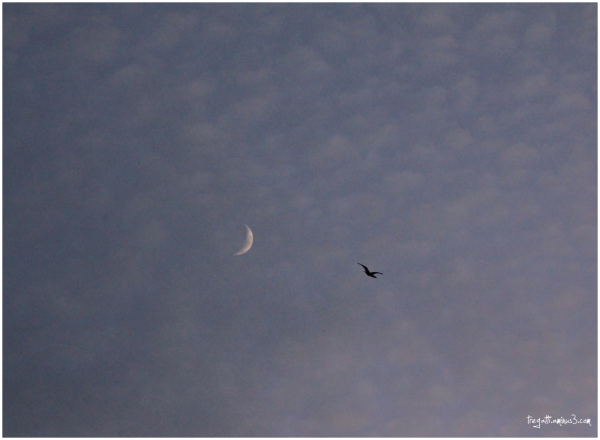 cormorant, moon