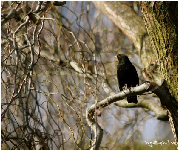 blackbird, merle