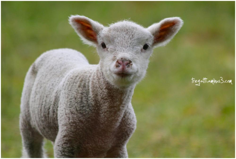 spring, lamb