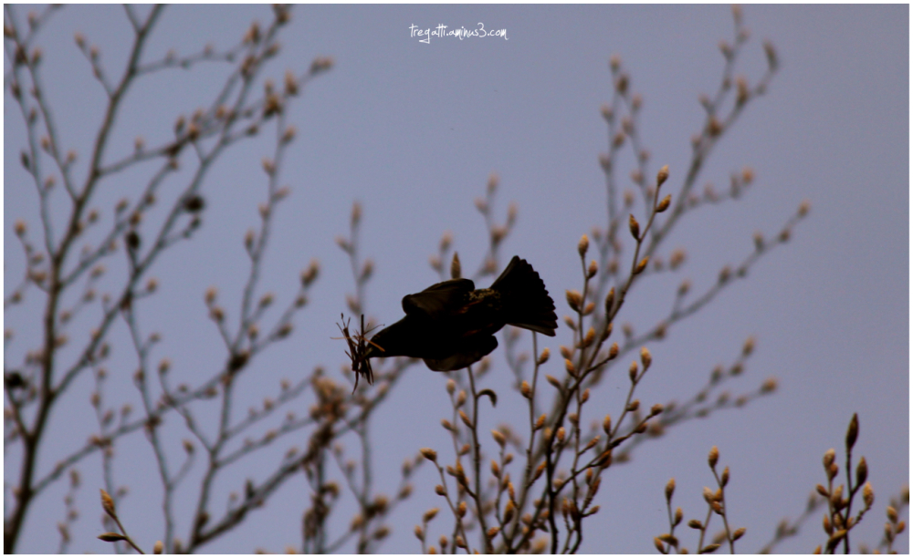 starling, nesting