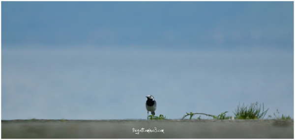 bird, wagtail