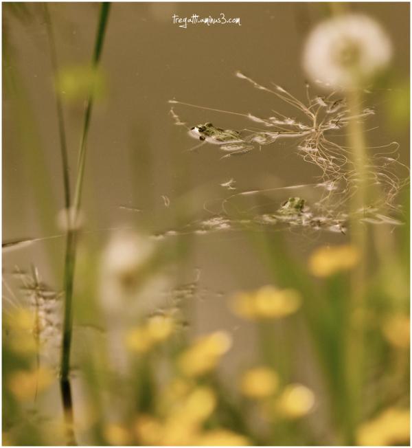 frog, dandelions