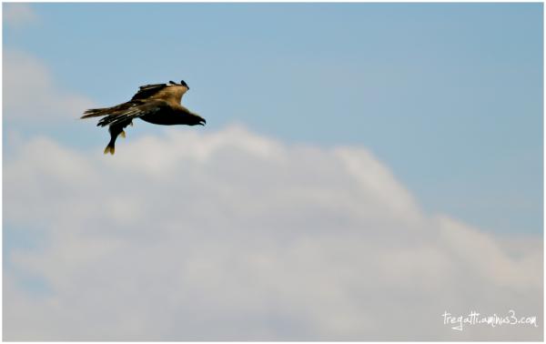 black kite fisg