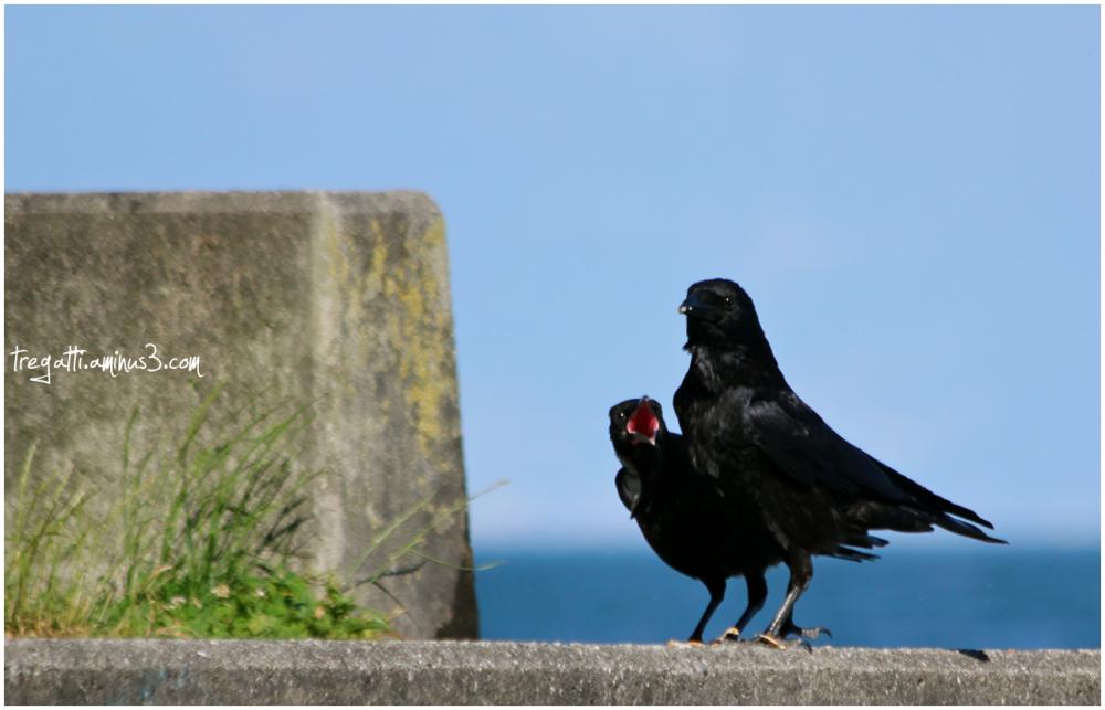 crow, crow baby