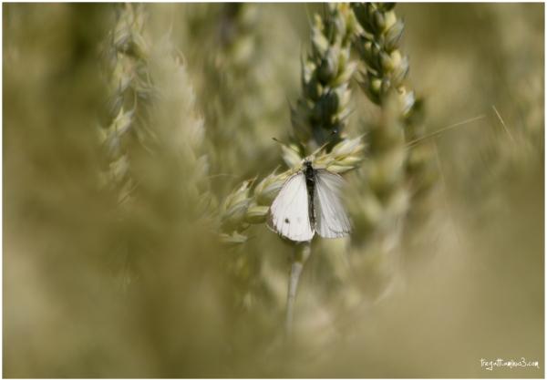 butterfly, grain