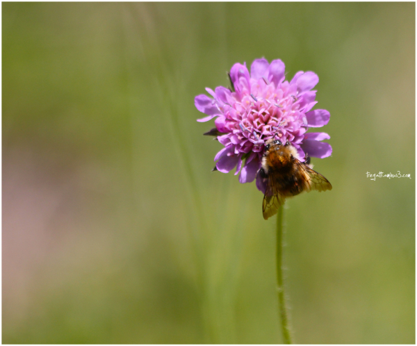 bee, wildflower