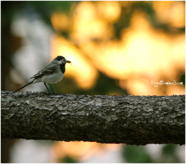 wagtail, spider