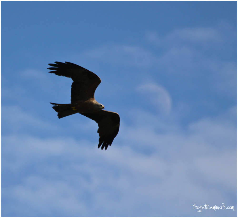 moon, black kite