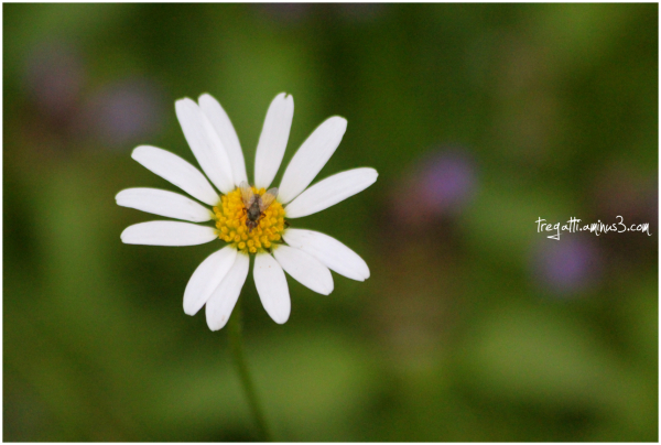 daisy, insect