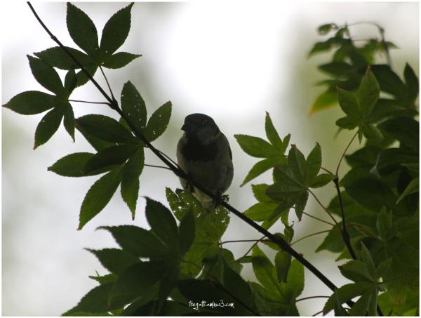 sparrow, japanese maple tree